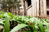 Wild garlic and shed in the forest, Berg am Starnberger See, Bavaria, Germany
