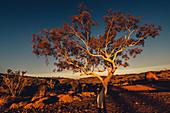Baum beim Sonnenuntergang im Karijini Nationalpark in Westaustralien