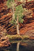 Sonnenuntergang mit einzelnem Baum in der Hamersley Gorge im Karijini Nationalpark in Westaustralien, Ozeanien