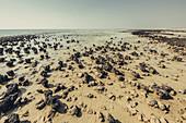 Living stromatolites at the Hamelin Pool Marine Nature Reserve in Sharkbay in Western Australia, Australia, Oceania;