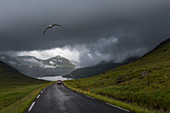 SEAGULL FLYING OVER A CAR FOLLOWING A ROAD IN THE MIDDLE OF THE VERDANT HILLS, FJORD AND THE VILLAGE OF FUNNINGSFJORDUR IN THE DISTANCE, EYSTUROY, FAROE ISLANDS, DENMARK