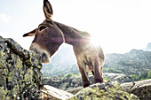 Donkey at Lake Melo, Corte, Corsica, France