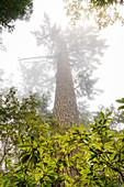 Jedediah Smith Redwood State Park, California, USA