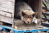 Sisimiut in West Greenland; chained sled dog lies peacefully in his dwelling; light brown fur; raised ears; watching the walkers closely;