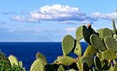 Cacti at Capo di Milazzo with a view up to Stromboli, Milazzo, north coast, Sicily, Italy