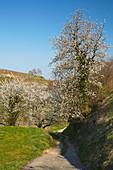 Kirschblüte und Weinberge bei Oberrotweil, Kaiserstuhl, Baden-Württemberg, Deutschland