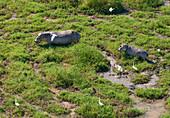 HIPPOPOTAMUS (Hippopotamus amphibius) mother and young, Gorongosa National Park, Mozambique.