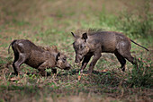 COMMON WARTHOG (Phacochoerus africanus) two young playing, Gorongosa National Park, Mozambique.