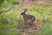 Black-necked Hare Lepus nigricollis Yala National park Sri lanka