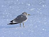 Common Gull Larus canus Calling on shoreline in snow storm