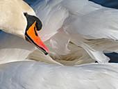 Mute Swan Cygnus olar preening