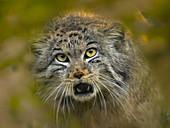 Pallas's cat Otocolobus manul