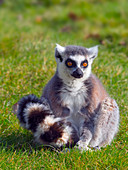 Ring-tailed lemur Lemur catta. Captive portrait