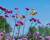 Large white Butterfly Pieris brassicae feeding on Verbena flowers in garden