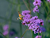 Hummingbird Hawk moth Macroglossum stellatarum in flight feeding verbena