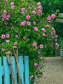 Climbing roses and blue gate country garden Norfolk
