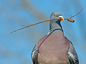 Wood Pigeon Columba palumbus in Flight with twig for nest building