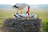 White stork, youngs asking something to eat (Ciconia ciconia), France