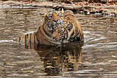 Bengal Tiger\n(Panthera tigris)\nfemale T19 Krishna and family in water\nRanthambhore, India\n