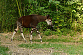Okapi Okapia johnstoni Endangered species\nCaptive