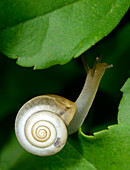 Close-up of a Carthusian snail (Monacha cartusiana) an air-breathing land snail crawling on a leaf in a woodland habitat in Croatia, Europe.
