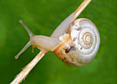 Close-up of a Carthusian snail (Monacha cartusiana) an air-breathing land snail crawling over a grass stem in a dry meadow habitat in Croatia, Europe.