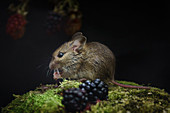 Wood mouse, Apodemus sylvaticus, feeding on blackberries, late summer in an Oxfordshire meadow.