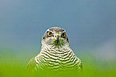 Close up of Goshawk (Accipiter gentilis) (Northern) in grass.