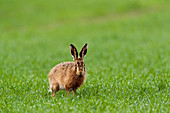 a brown hare (Lepus capensis) stands stares at the camera from a field of grass in Bedfordshire England UK