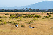 Secretary birds (Sagittarius serpentarius) are looking for food in the dry savannah grassland of Samburu National Reserve in Kenya.
