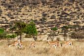 A herd of Grants gazelles (Nanger granti) in Samburu National Reserve in Kenya.