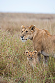 A lioness (Panthera leo) with a cub in the high grass in the Masai Mara National Reserve in Kenya.