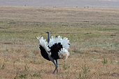 A male Somali ostrich (Struthio molybdophanes) performing the breeding behavior to attract a female in the grasslands of the Lewa Wildlife Conservancy in Kenya.