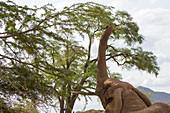 African elephant (Loxodonta africana) is feeding on a tree in the Samburu National Reserve in Kenya.
