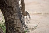 Close-up of an African elephants (Loxodonta africana) tail in the Samburu National Reserve in Kenya.