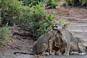 Lion cubs (Panthera leo) cuddling with their mother in the Samburu National Reserve in Kenya.