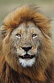 LION, PANTHERA LEO, KENYA, MASAI MARA, AFRICA