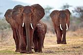 AFRICAN ELEPHANT; ELEPHANTIDAE; SAMBURU; NATIONAL PARK OF SAMBURU; KENYA; AFRICA