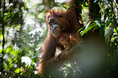Sumatran orangutan (Pongo abelii) mother and infant moving through the rainforest in Bukit Lawang, Indonesia.