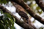 Wallace's hawk-eagle (Nisaetus nanus) close-up, perched on a tree branch in Borneo, Sepilok, Malaysia.