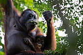 Bornean orangutan (Pongo pygmaeus) mother and infant eating together in Sepilok, Malaysia.