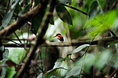 Rufous-backed kingfisher (Ceyx erithaca) perched on a tree branch in Sumatra.