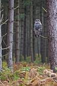 Eurasian Eagle Owl (Bubo bubo) adult perched on branch in pine forest, Suffolk, England, November, controlled subject