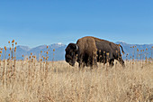 American Bison (Bison bison) adult male walking in grassland at foot of mountain, National Bison Range, Montana, USA, October