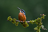 Common Kingfisher (Alcedo atthis) adult male perched on mossy branch, Suffolk, England, July