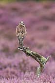 Common Kestrel (Falco tinnunculus) immature perched on branch among flowering heather, Suffolk, England, August, controlled subject