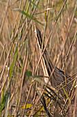 Great Bittern (Botaurus stellaris) adult standing in erect posture among reeds, Minsmere RSPB reserve, Suffolk, England, November