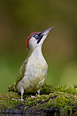 Green Woodpecker (Picus viridis) adult female perched on mossy stump, Debrecen, Hungary, May