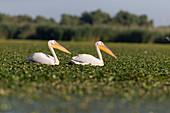Great White Pelican (Pelecanus onocrotalus) 2 breeding plumage adults, swimming amongst aquatic vegetation, Danube Delta, Romania, June