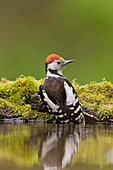 Middle Spotted Woodpecker (Dendrocopos medius) adult perched on edge of woodland pool, Debrecen, Hungary, May